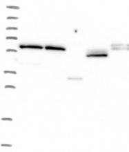 NBP1-81124 - ZNF480