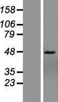 NBL1-18163 - ZNF485 Lysate