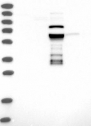NBP1-81432 - ZNF490