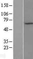 NBL1-18165 - ZNF490 Lysate