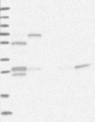 NBP1-92628 - ZNF509