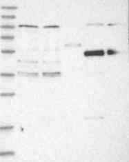 NBP1-81953 - ZNF519