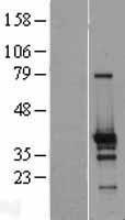 NBL1-18171 - ZNF524 Lysate