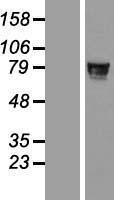 NBL1-18172 - ZNF526 Lysate