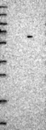 NBP1-81396 - ZNF529