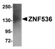 NBP1-77092 - ZNF536