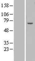NBL1-18023 - ZNF545 Lysate