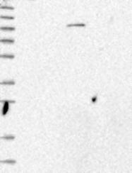 NBP1-81076 - ZNF546