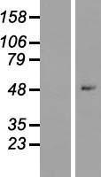 NBL1-18178 - ZNF547 Lysate