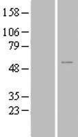 NBL1-18186 - ZNF561 Lysate