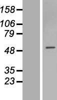 NBL1-18187 - ZNF563 Lysate