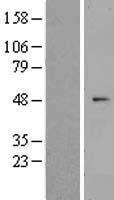NBL1-18190 - ZNF566 Lysate
