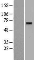 NBL1-18202 - ZNF596 Lysate