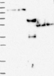 NBP1-84659 - ZNF598