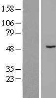 NBL1-18210 - ZNF621 Lysate