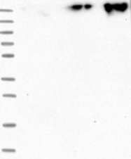 NBP1-87996 - ZNF650