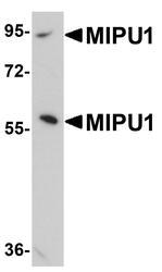 NBP1-77357 - ZNF667