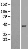 NBL1-18226 - ZNF684 Lysate