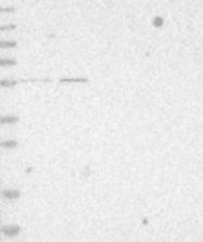 NBP1-80783 - ZNF695