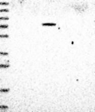 NBP1-83264 - ZNF7