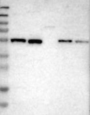 NBP1-84402 - ZNF70