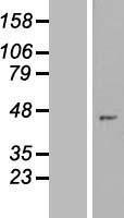 NBL1-18238 - ZNF707 Lysate