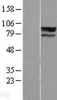 NBL1-18239 - ZNF710 Lysate