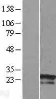 NBL1-18242 - ZNF740 Lysate