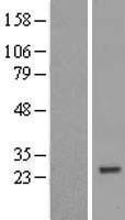 NBL1-18243 - ZNF747 Lysate