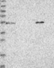 NBP1-85323 - ZNF76