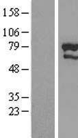 NBL1-18244 - ZNF76 Lysate
