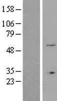 NBL1-18247 - ZNF77 Lysate