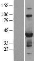 NBL1-18251 - ZNF784 Lysate