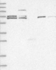 NBP1-81754 - ZNF8