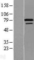 NBL1-18253 - ZNF8 Lysate