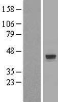 NBL1-18254 - ZNF821 Lysate