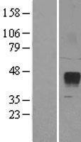 NBL1-18265 - ZPBP2 Lysate