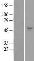 NBL1-18273 - ZSWIM1 Lysate