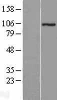 NBL1-18280 - ZZZ3 Lysate