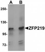 NBP1-76550 - ZNF219