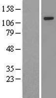 NBL1-18044 - Zimp10 Lysate