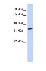 NBP1-59179 - AZGP1