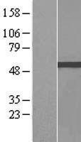 NBL1-17980 - Zinc finger and BTB domain-containing protein 9 Lysate