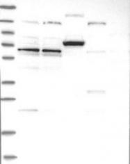 NBP1-92614 - ZNF324B