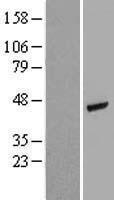 NBL1-07274 - actin, gamma 2 Lysate