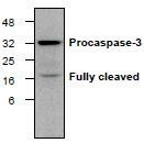 NBP1-45435 - Caspase-3