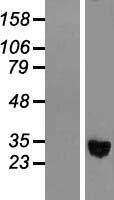NBL1-07336 - alcohol dehydrogenase 1C Lysate