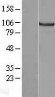 NBL1-09576 - alpha 2 Catenin Lysate