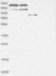 NBP1-89705 - Coatomer subunit alpha (COPA)