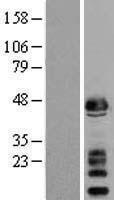 NBL1-15902 - alpha Sarcoglycan Lysate
